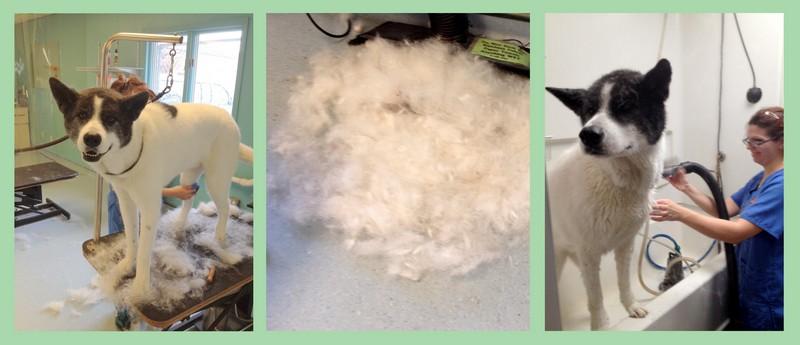 Loki's Shed Treatment and bath!