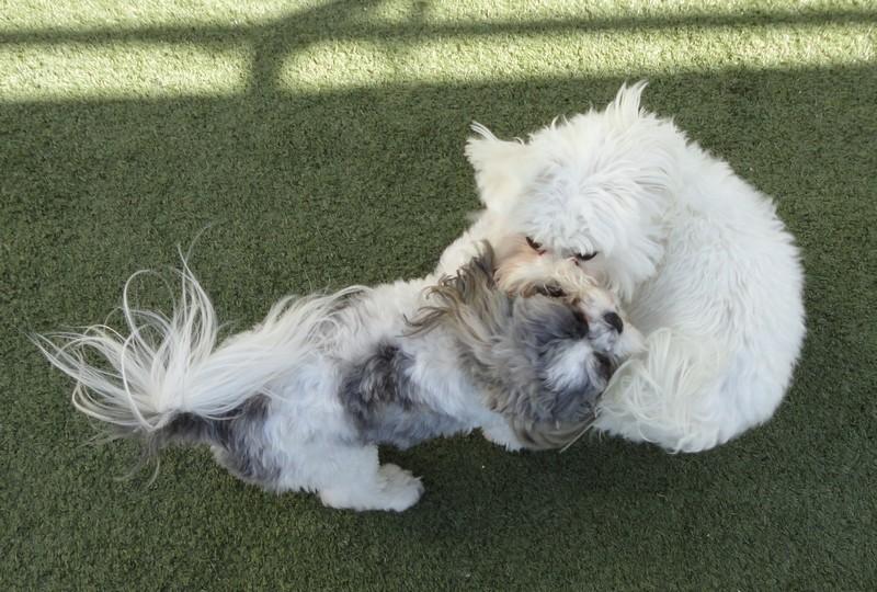 Bella & Fluffy romping!