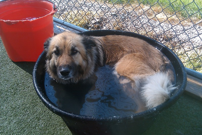 Mattie keeping cool by curling up in the water bowl!