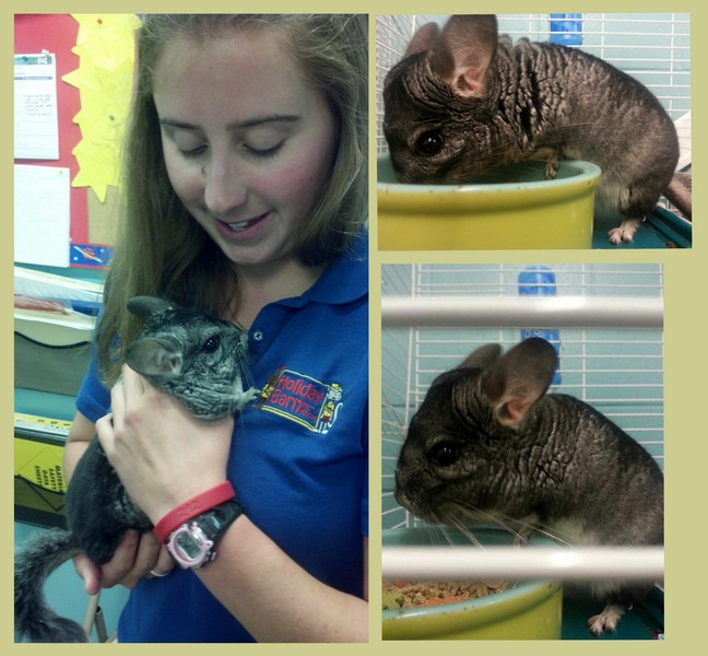 Cuddles the Chinchilla!