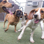 Image of a group of happy dogs running around and playing at doggie day care in Richmond, VA at Holiday Barn Pet Resorts