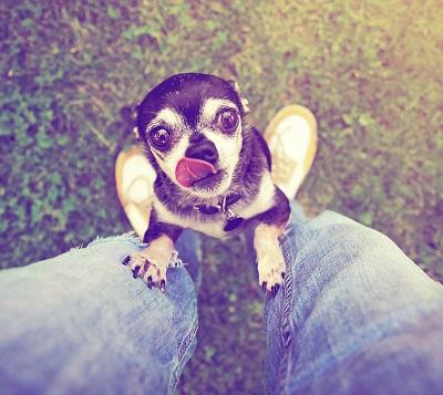 carob for dogs