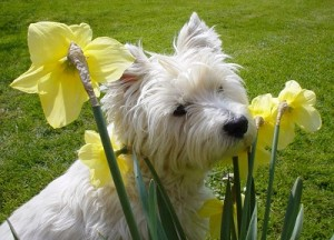 Battling Spring Allergies in Dogs