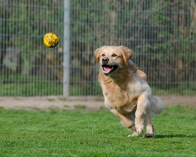 a dog chases a ball