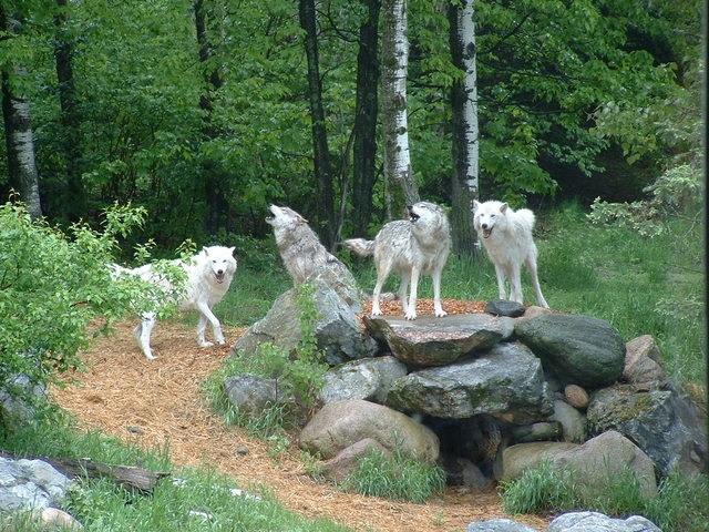 The Pack Theory of Dominance Heirarchy