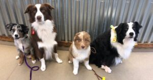 A group of Australian Shepherds look at the camera.